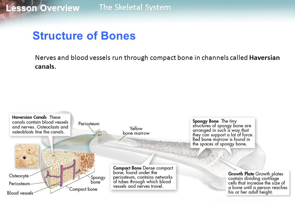 Structure of Bones Nerves and blood vessels run through compact bone in channels called Haversian canals.