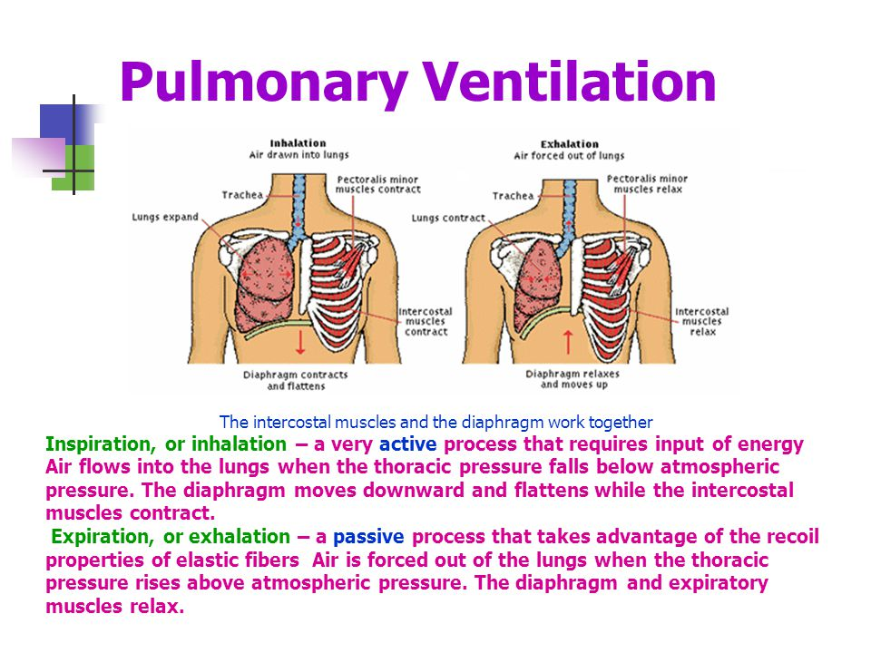a study of phases of pulmonary ventilation Answer tois the phase of pulmonary ventilation air passes out of the lungs.