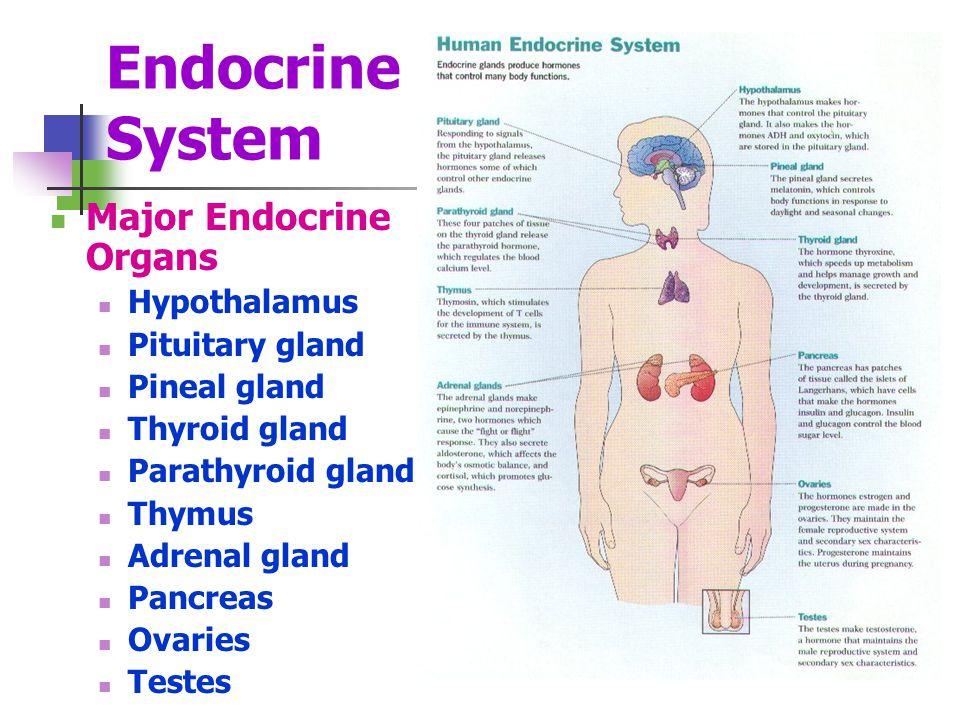 Endocrine System Major Endocrine Organs Hypothalamus Pituitary gland