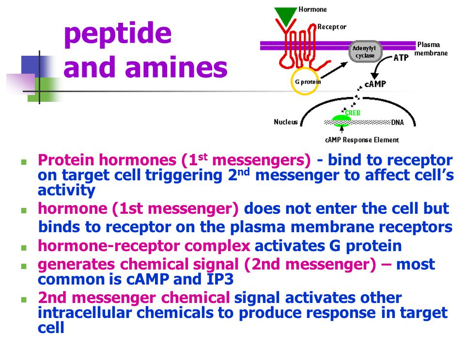 peptide and amines Protein hormones (1st messengers) - bind to receptor on target cell triggering 2nd messenger to affect cell's activity.
