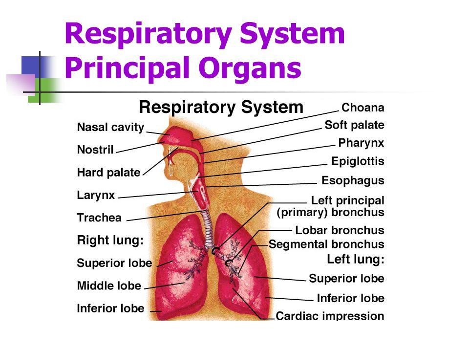 Respiratory System Principal Organs