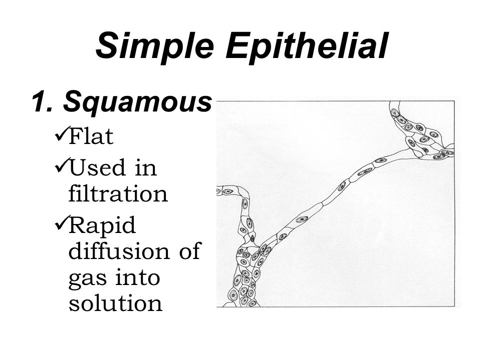 Simple Epithelial 1. Squamous Flat Used in filtration