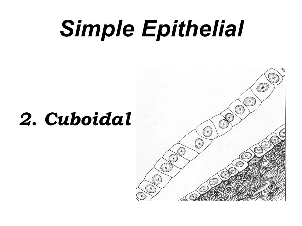 Simple Epithelial 2. Cuboidal
