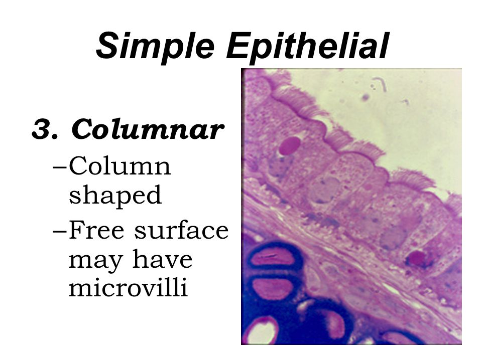 Simple Epithelial 3. Columnar Column shaped