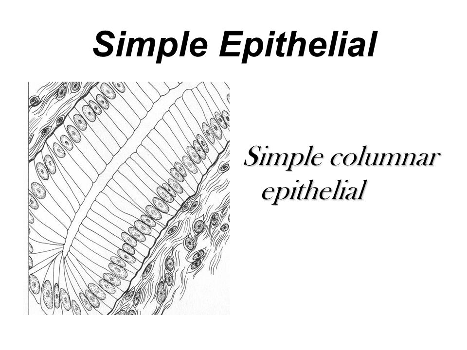 Simple Epithelial Simple columnar epithelial
