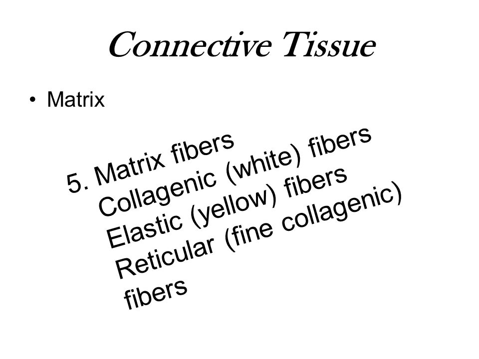 Connective Tissue Collagenic (white) fibers 5. Matrix fibers