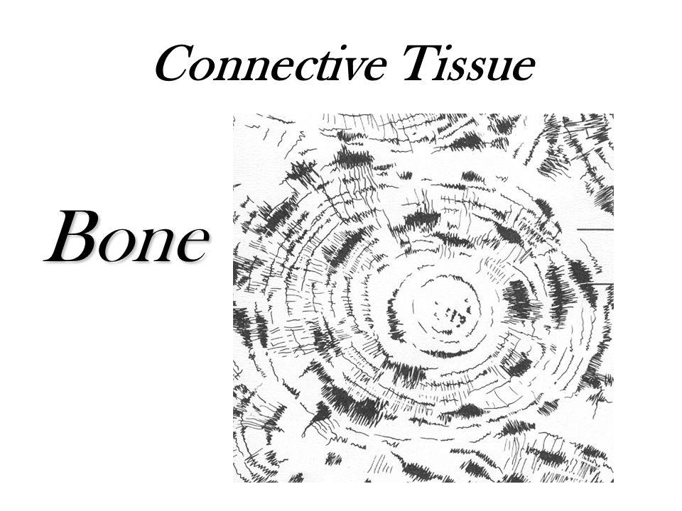Connective Tissue Bone