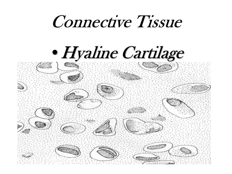 Connective Tissue Hyaline Cartilage