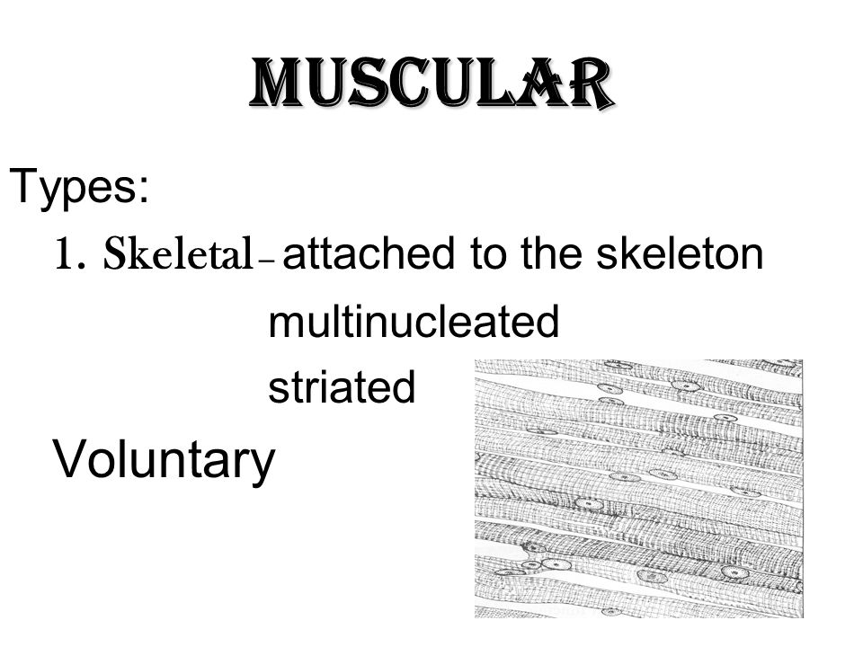 Muscular Voluntary Types: Skeletal – attached to the skeleton