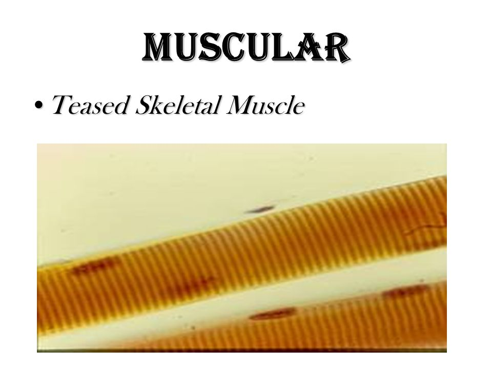 Muscular Teased Skeletal Muscle
