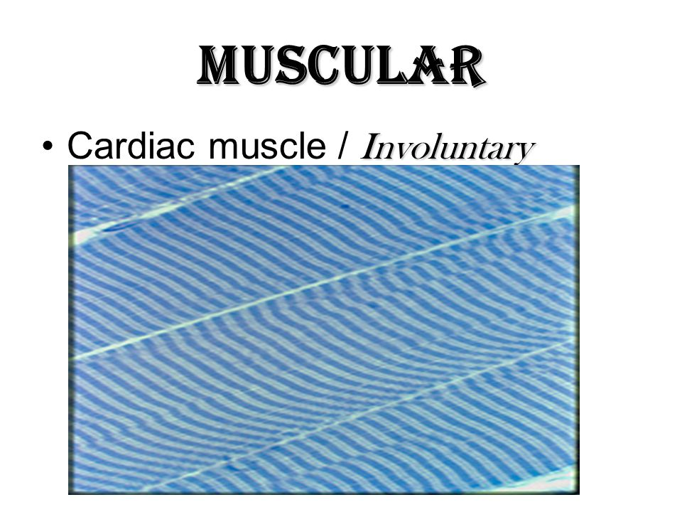 Muscular Cardiac muscle / Involuntary