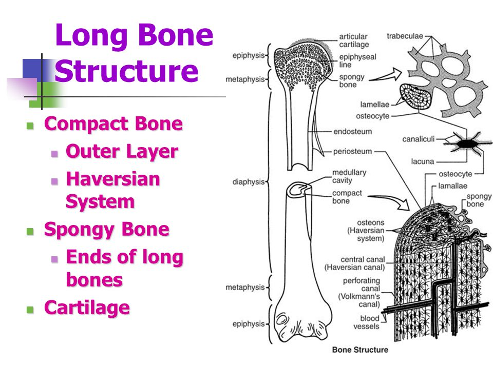 Long Bone Structure Compact Bone Outer Layer Haversian System