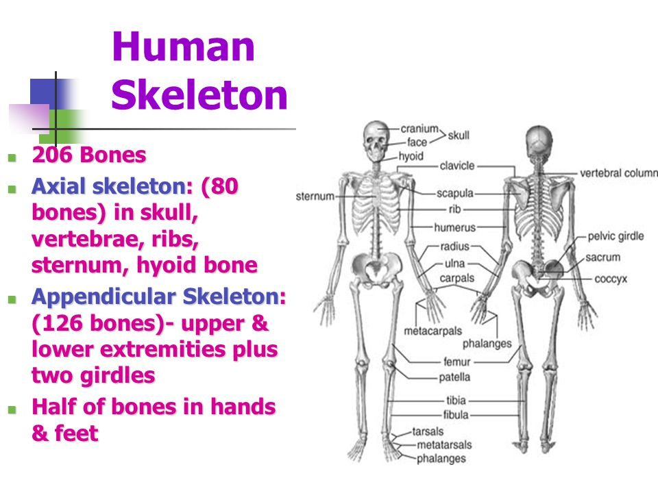 Human Skeleton 206 Bones. Axial skeleton: (80 bones) in skull, vertebrae, ribs, sternum, hyoid bone.