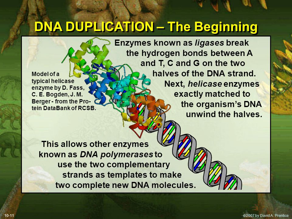 DNA DUPLICATION – The Beginning