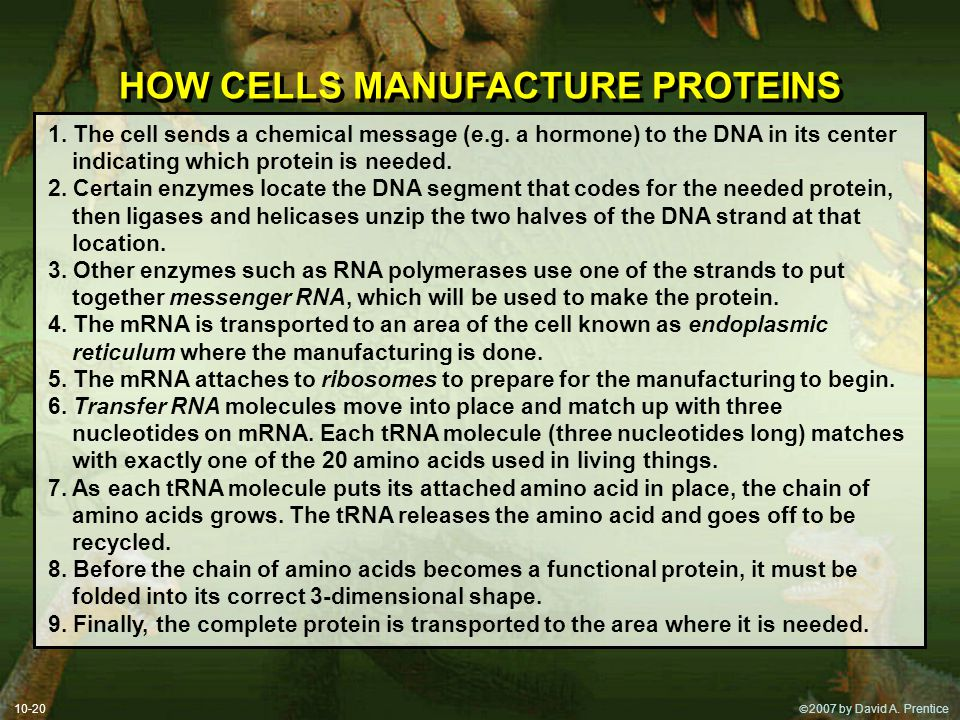 HOW CELLS MANUFACTURE PROTEINS