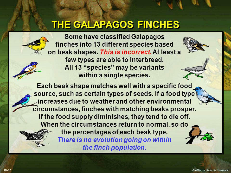 THE GALAPAGOS FINCHES Some have classified Galapagos