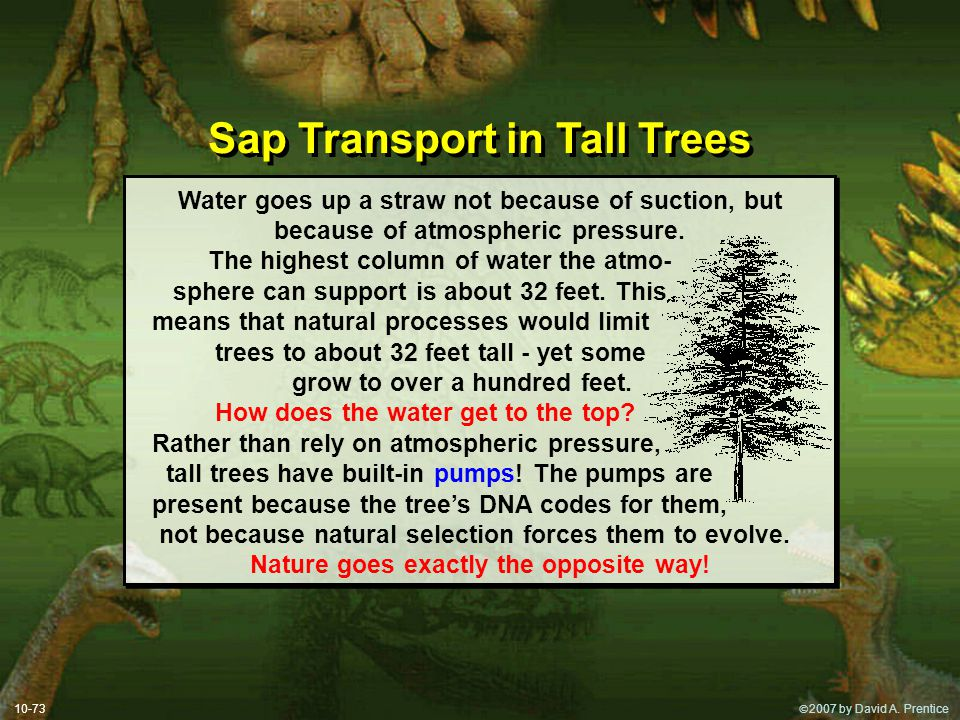 Sap Transport in Tall Trees