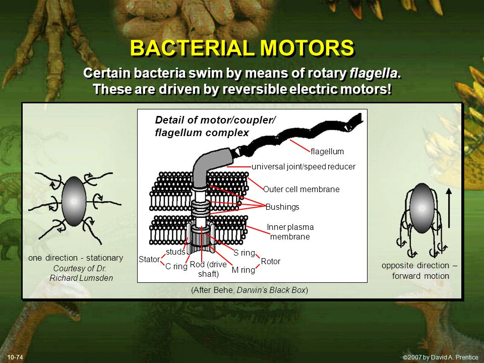 BACTERIAL MOTORS Certain bacteria swim by means of rotary flagella.