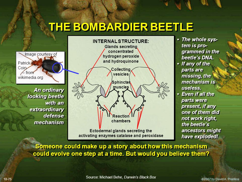 THE BOMBARDIER BEETLE • The whole sys-tem is pro-grammed in the beetle's DNA. • If any of the parts are missing, the mechanism is useless.