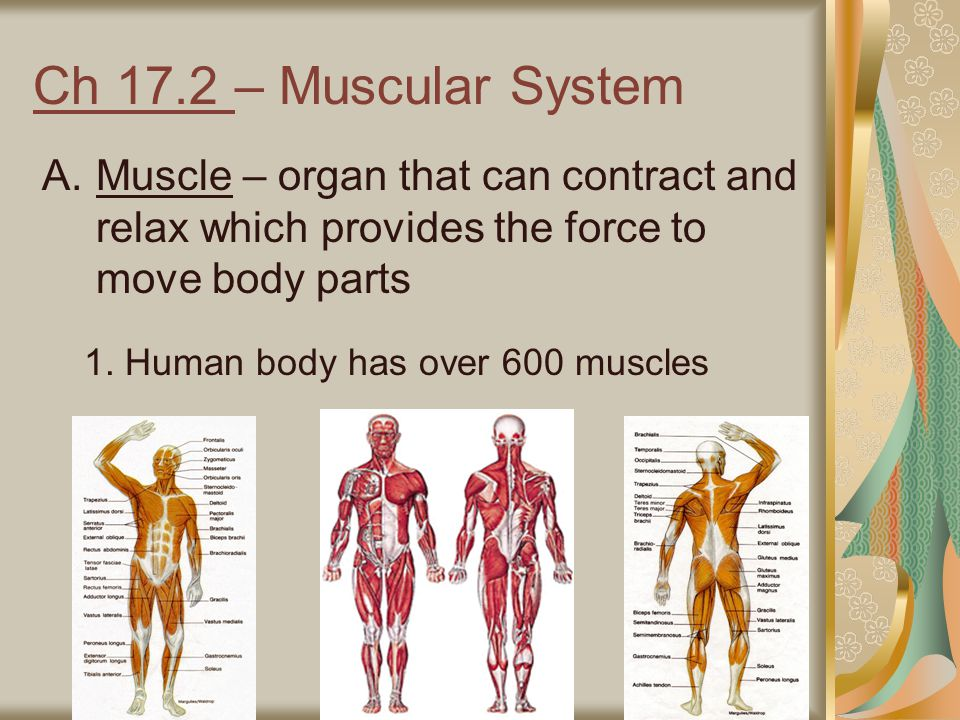 Ch 17.2 – Muscular System Muscle – organ that can contract and relax which provides the force to move body parts.
