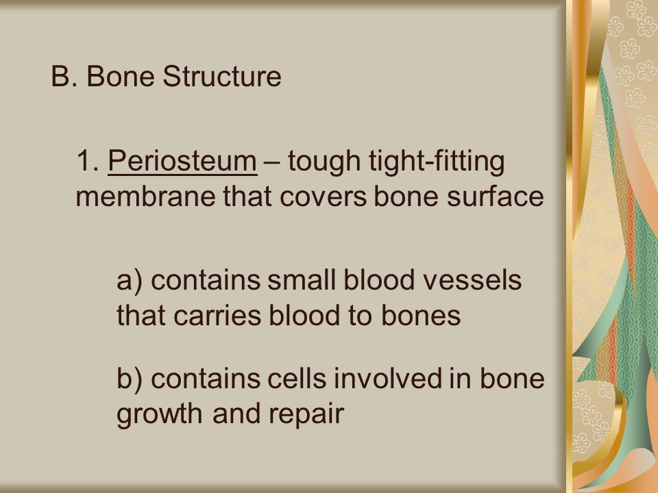 B. Bone Structure 1. Periosteum – tough tight-fitting membrane that covers bone surface.