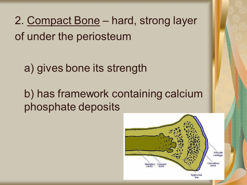 2. Compact Bone – hard, strong layer