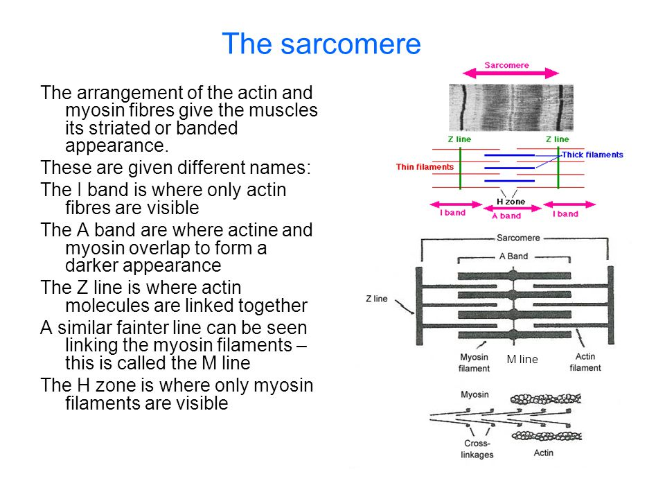 The sarcomere The arrangement of the actin and myosin fibres give the muscles its striated or banded appearance.