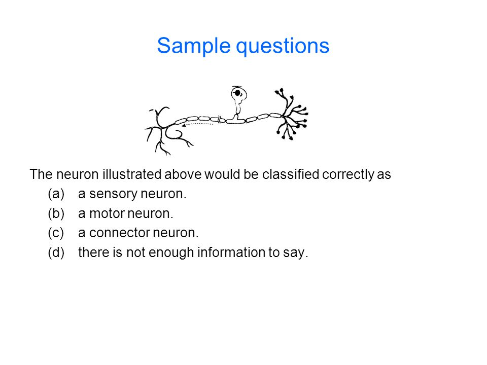 Sample questions The neuron illustrated above would be classified correctly as. (a) a sensory neuron.