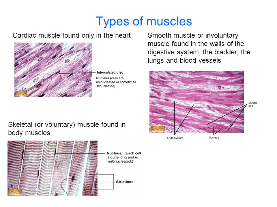 Types of muscles Cardiac muscle found only in the heart