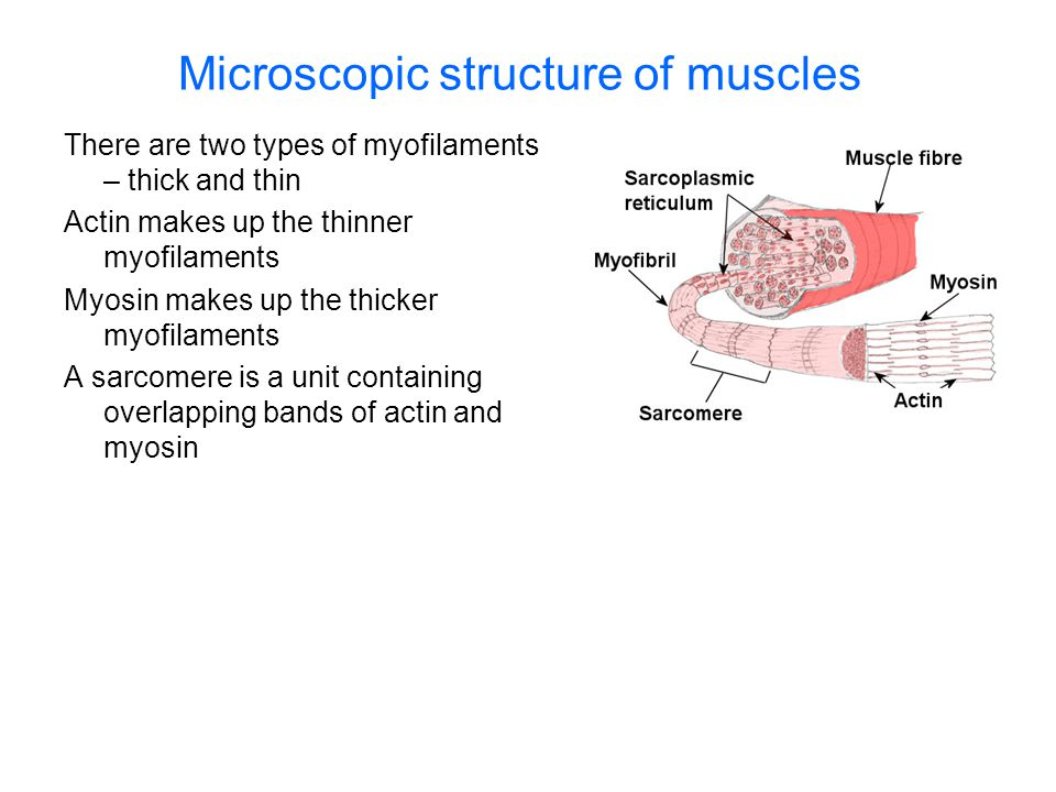 Microscopic structure of muscles