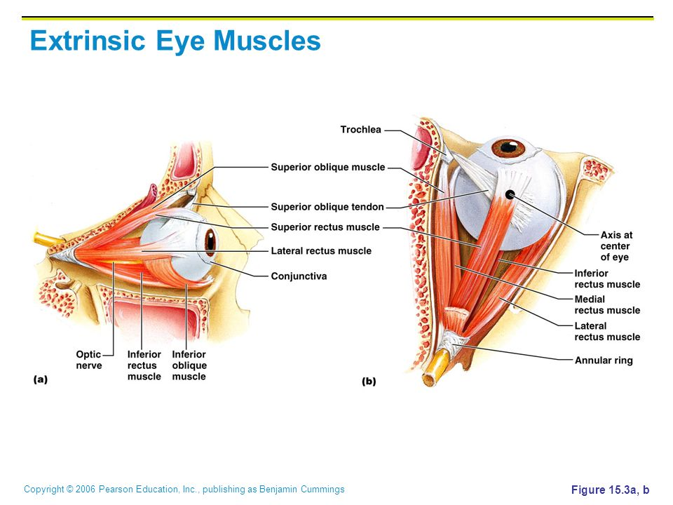 Extrinsic Eye Muscles Figure 15.3a, b