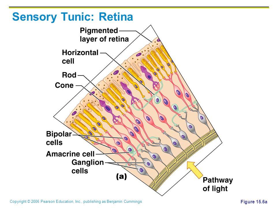 Sensory Tunic: Retina Figure 15.6a