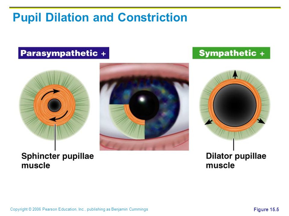 Pupil Dilation and Constriction