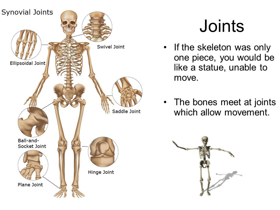 Joints If the skeleton was only one piece, you would be like a statue, unable to move.