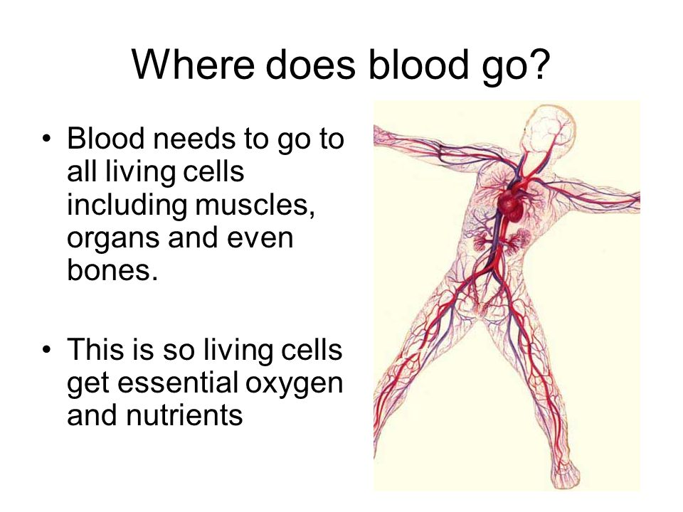 Where does blood go Blood needs to go to all living cells including muscles, organs and even bones.