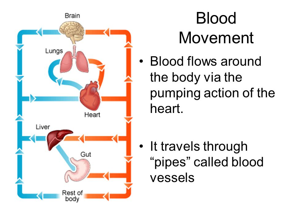 Blood Movement Blood flows around the body via the pumping action of the heart.