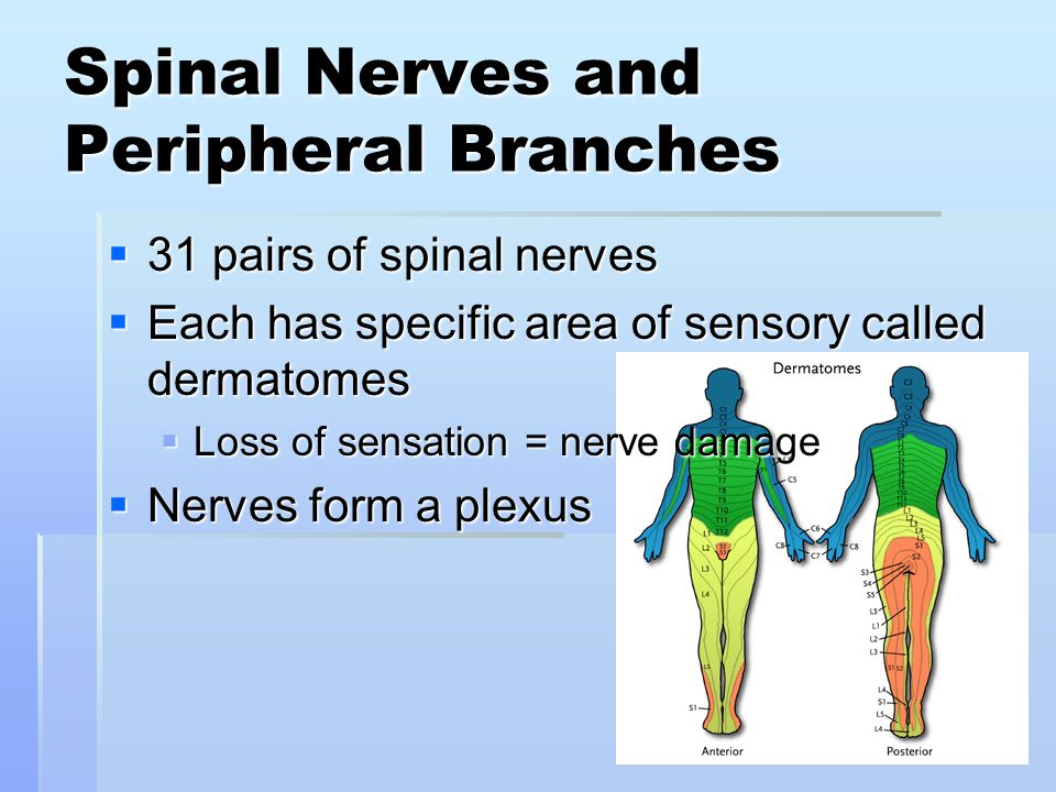 Spinal Nerves and Peripheral Branches