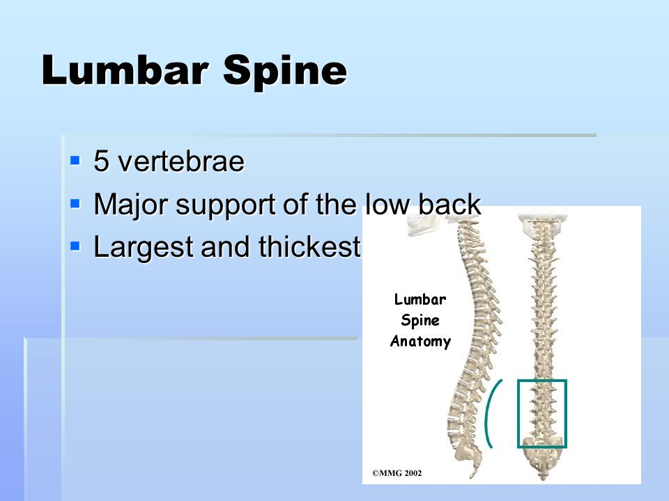 Lumbar Spine 5 vertebrae Major support of the low back