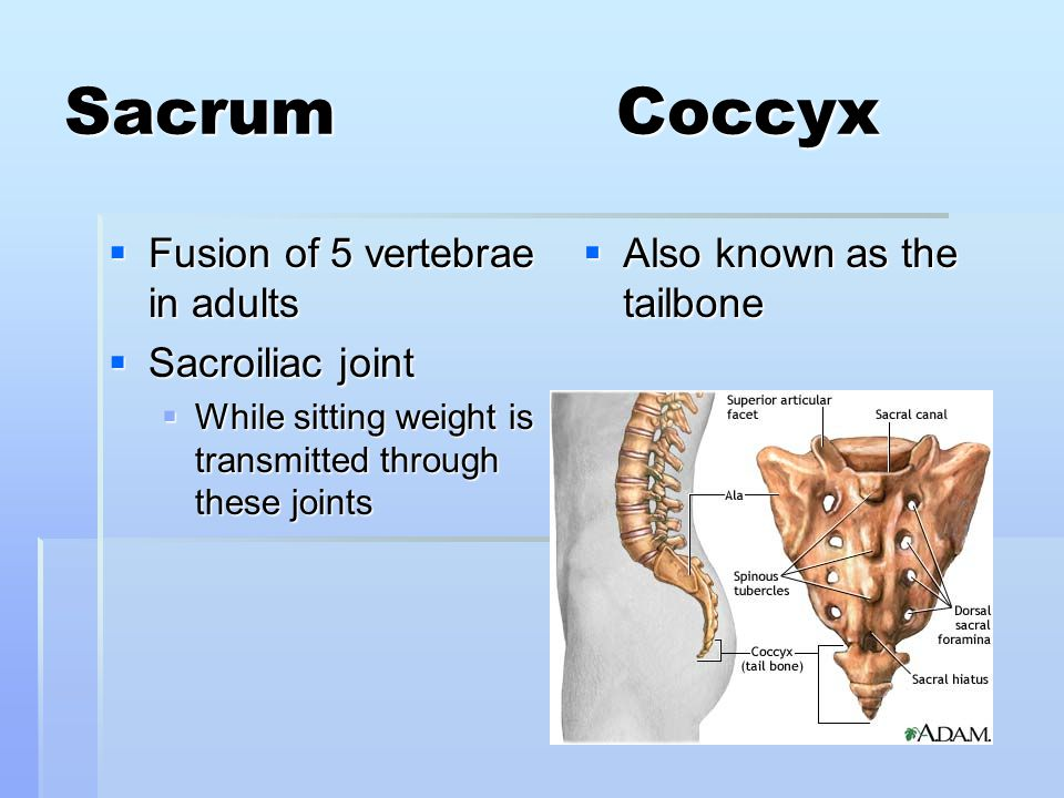 Sacrum Coccyx Fusion of 5 vertebrae in adults Sacroiliac joint