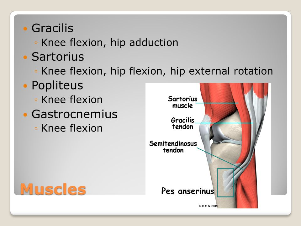 Muscles of the Knee and Hip Flashcards  Quizlet