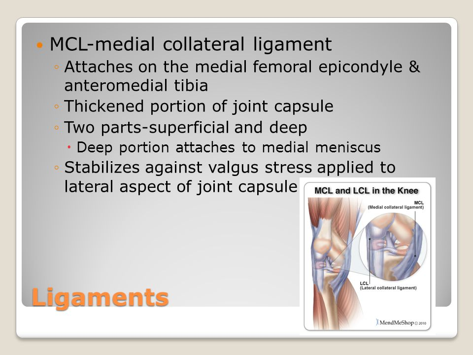 Ligaments MCL-medial collateral ligament