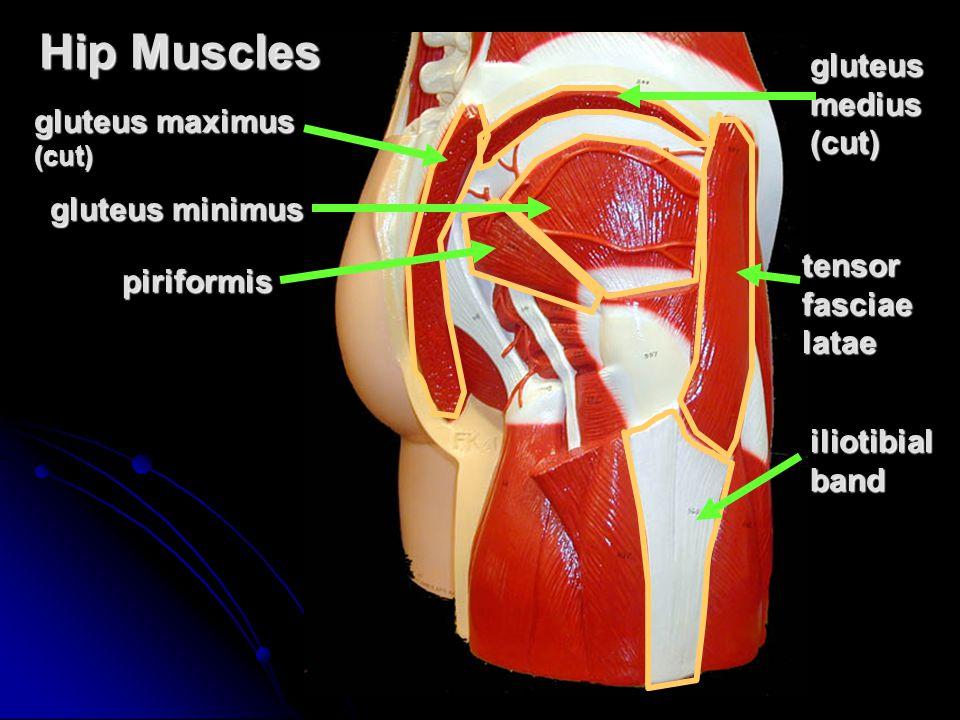 Hip Muscles gluteus medius (cut) gluteus maximus gluteus minimus