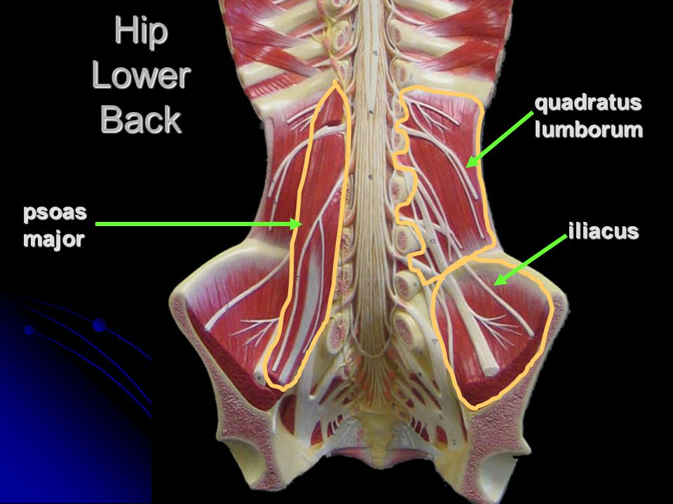 Hip Lower Back quadratus lumborum psoas major iliacus