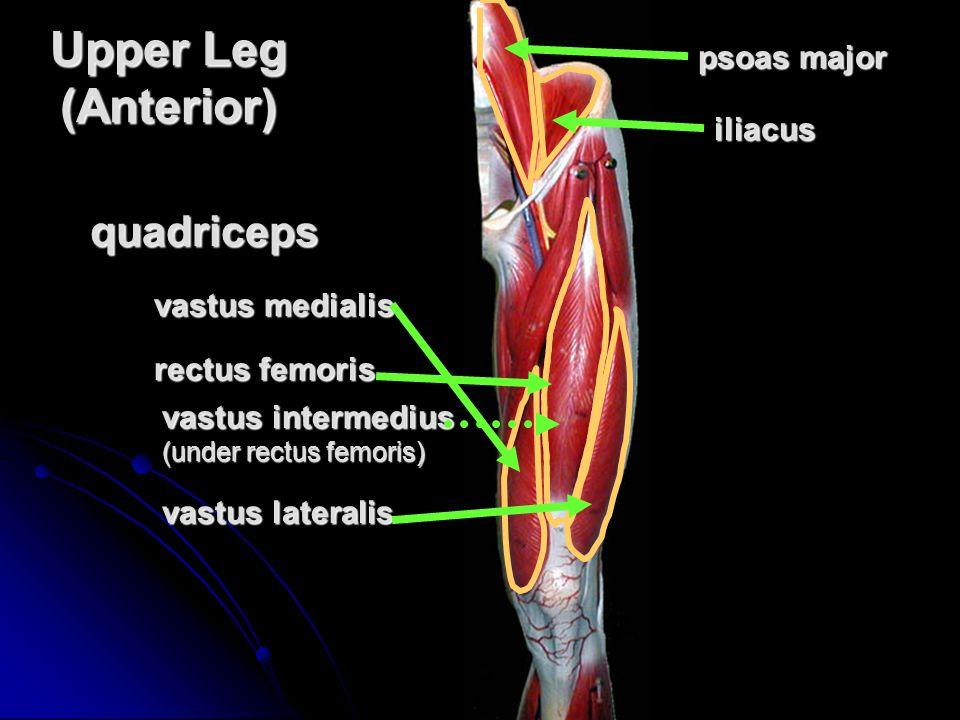 Upper Leg (Anterior) quadriceps psoas major iliacus vastus medialis