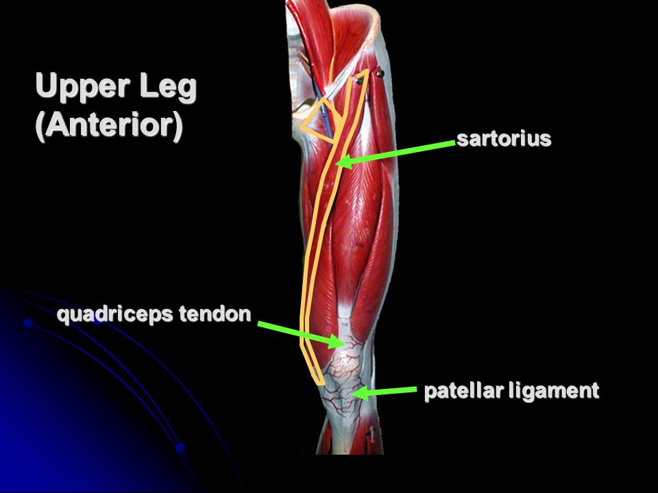 Upper Leg (Anterior) sartorius quadriceps tendon patellar ligament