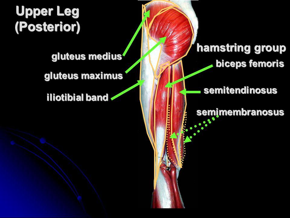 Upper Leg (Posterior) hamstring group gluteus medius biceps femoris