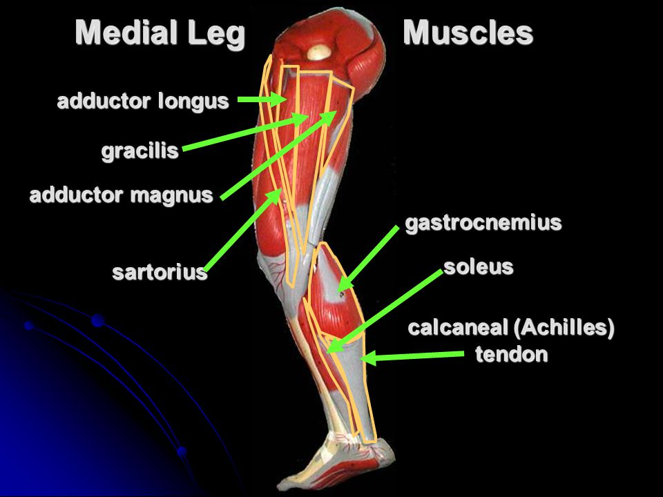calcaneal (Achilles) tendon