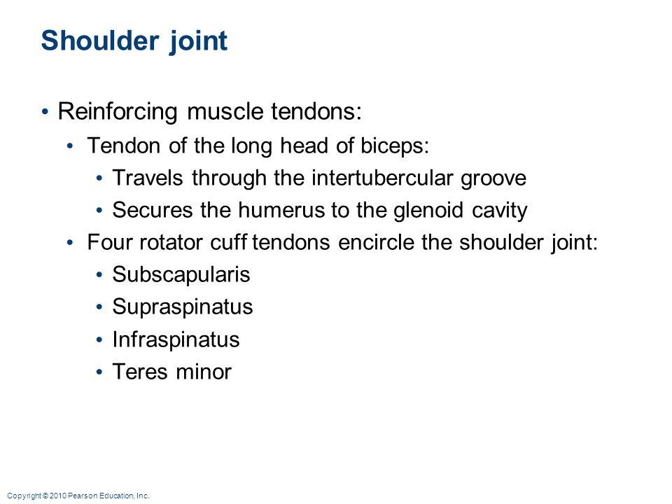 Shoulder joint Reinforcing muscle tendons: