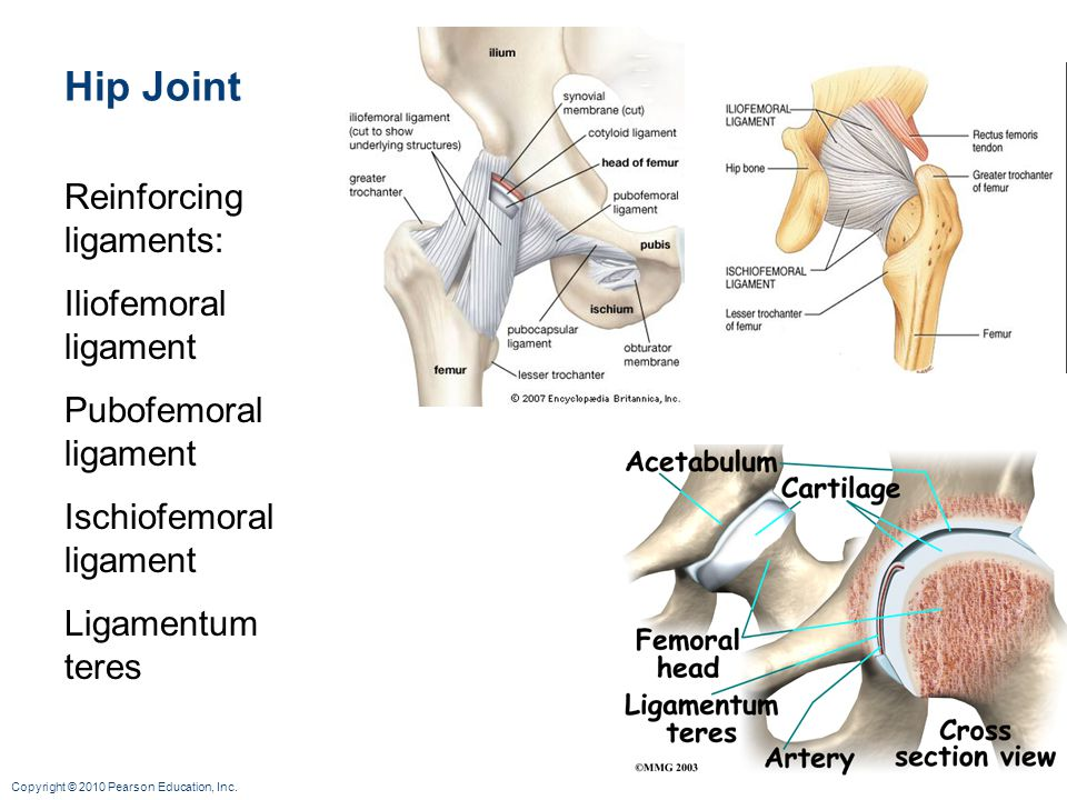 Hip Joint Reinforcing ligaments: Iliofemoral ligament