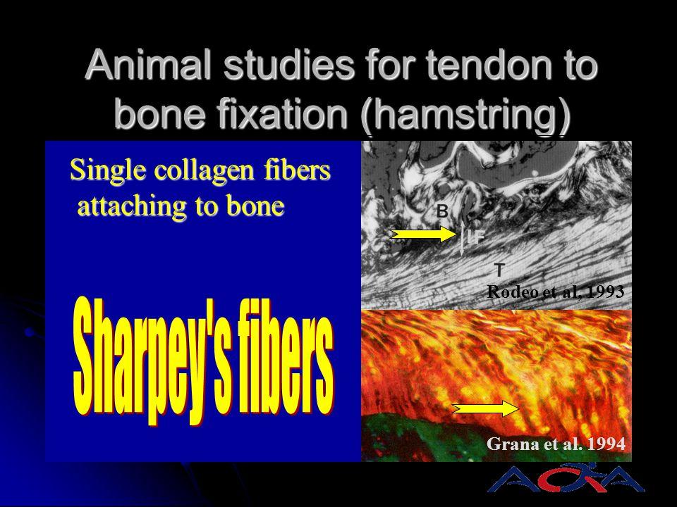 Animal studies for tendon to bone fixation (hamstring)